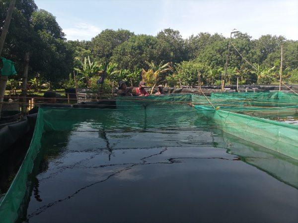 Realizan estudiantes de la UNACH investigación sobre la calidad de crías de mojarras tilapias